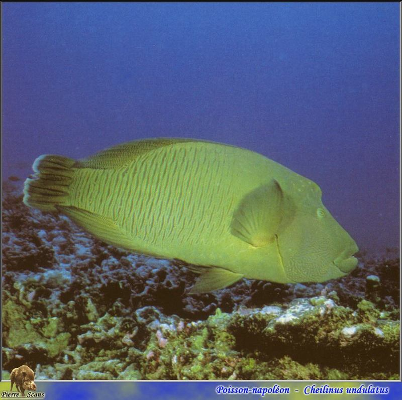 Humphead Wrasse (Cheilinus undulatus) <!--큰양놀래기-->; DISPLAY FULL IMAGE.