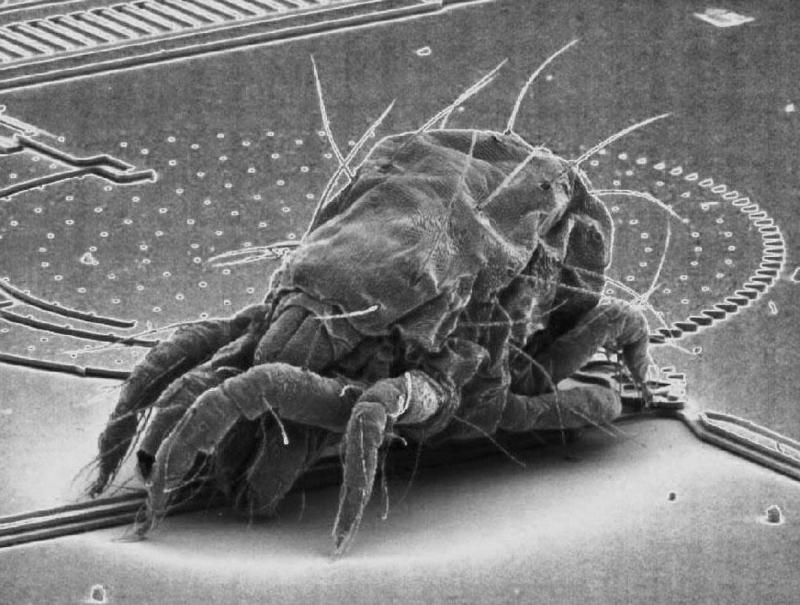 Dust mite <!--진드기-->; DISPLAY FULL IMAGE.