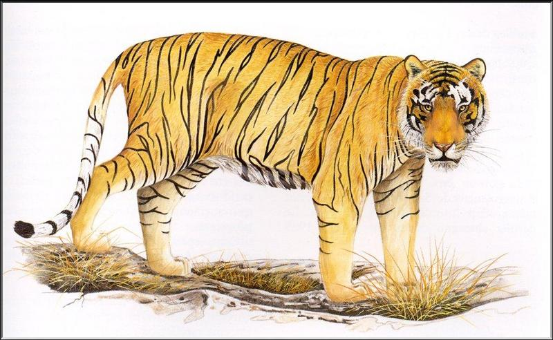 [Animal Art] Extinct Bali Tiger - Panthera tigris balica <!--발리호랑이(멸종)-->; DISPLAY FULL IMAGE.