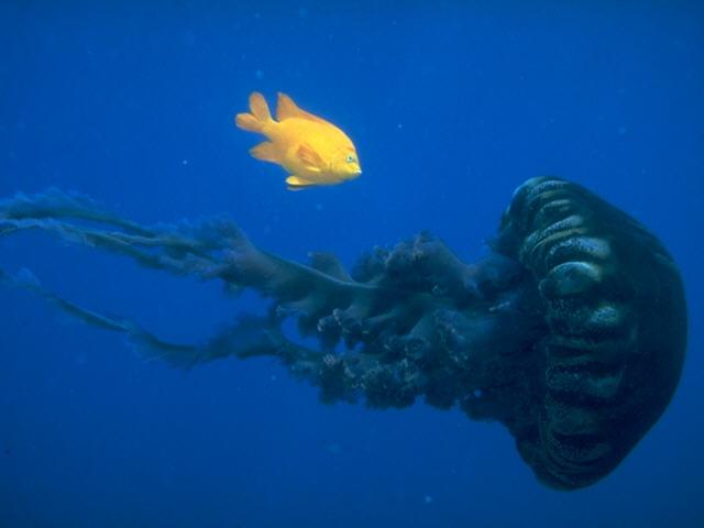 Jellyfish <!--해파리--> and Yellow Tang; Image ONLY