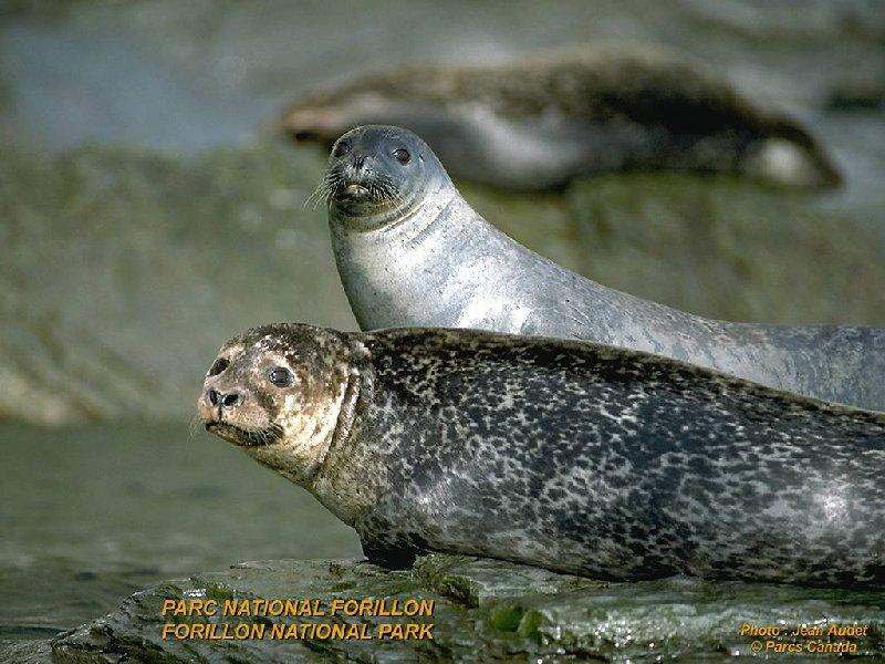 Spotted Seals -- spotted seal (Phoca largha); DISPLAY FULL IMAGE.