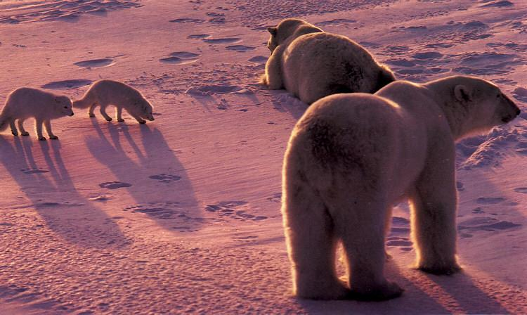Polar Bears (Ursus maritimus) <!--북극곰--> and Arctic Foxes; Image ONLY