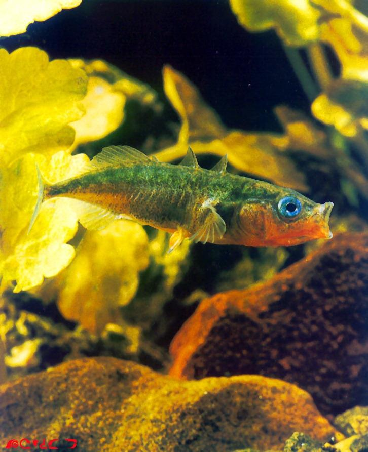 Three-spined Stickleback (Gasterosteus aculeatus) <!--큰가시고기-->; Image ONLY