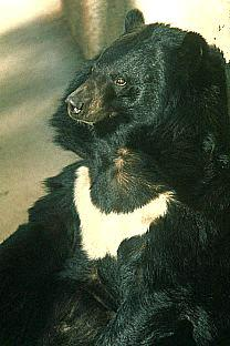 Asiatic Black Bear (Ursus thibetanus) <!--히말라야 반달곰, 아시아흑곰-->; Image ONLY