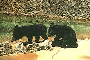 Asiatic Black Bear (Ursus thibetanus) <!--티벳반달곰, 아시아흑곰-->; Image ONLY