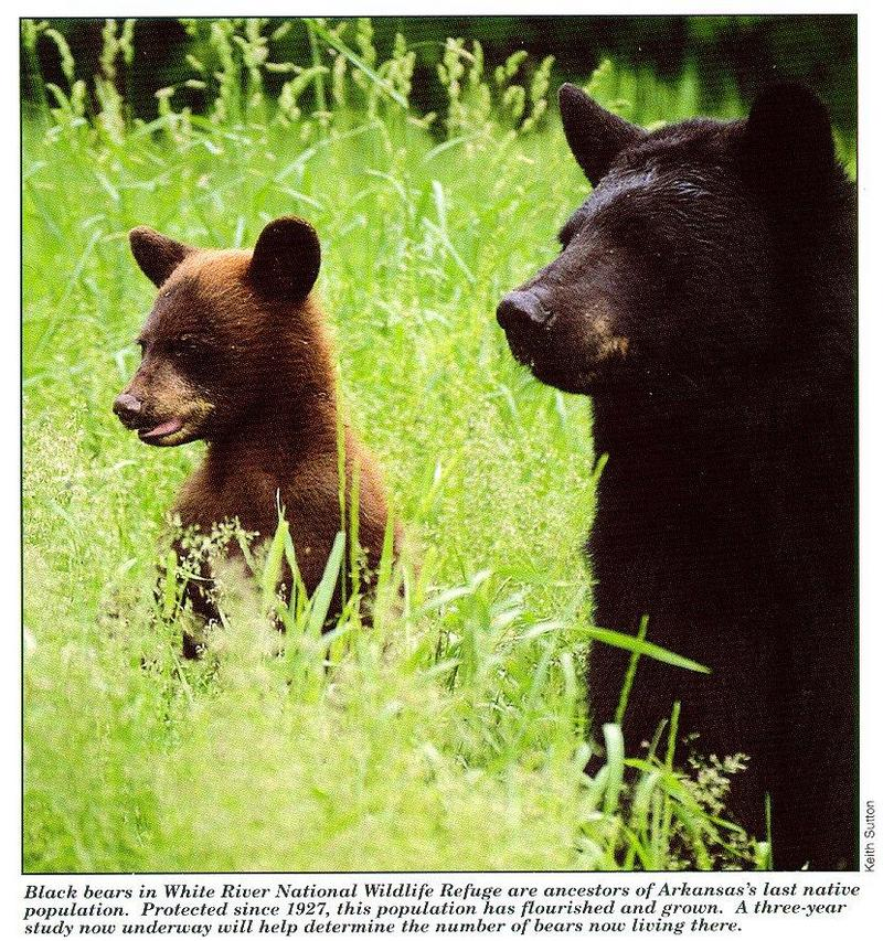 American Black Bear mother and cub (Ursus americanus) <!--아메리카흑곰-->; DISPLAY FULL IMAGE.