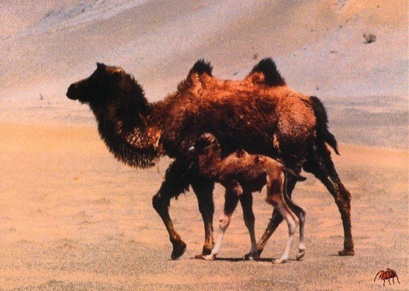 Bactrian Camels (Camelus bactrianus) {!--쌍봉낙타--> - mother and calf; Image ONLY