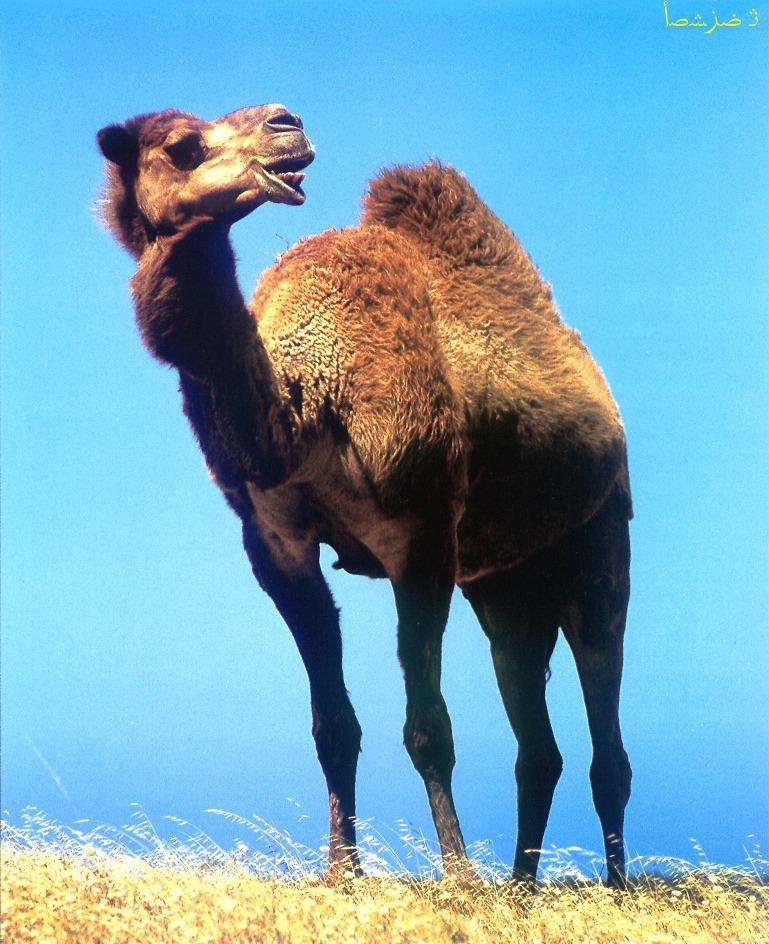 CQ - Camel-Dromedary Camel-closeup.jpg