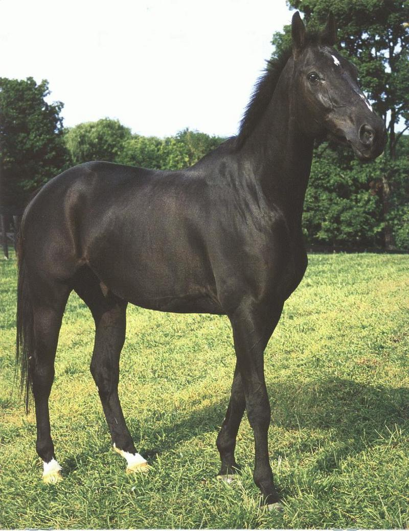 Black Horse (Equus caballus) <!--말::흑마-->; DISPLAY FULL IMAGE.