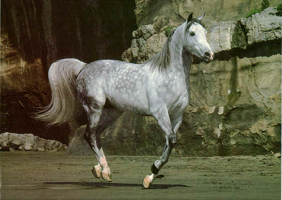 104 Best Dapple grey horses images  Horses Dapple grey