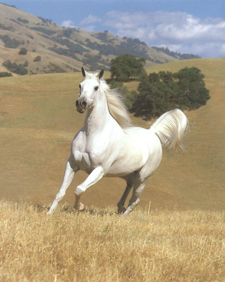 Horse (Equus caballus) {!--말,백마-->; Image ONLY