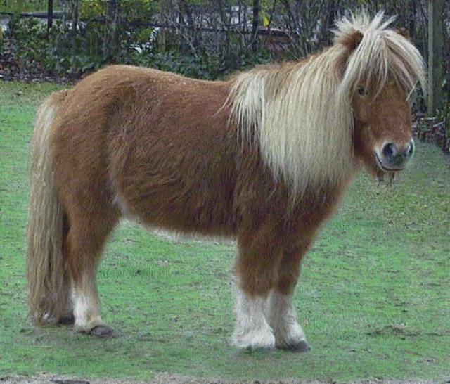 Horse breed - Miniature (Equus caballus) <!--말::미니어처 품종-->; Image ONLY