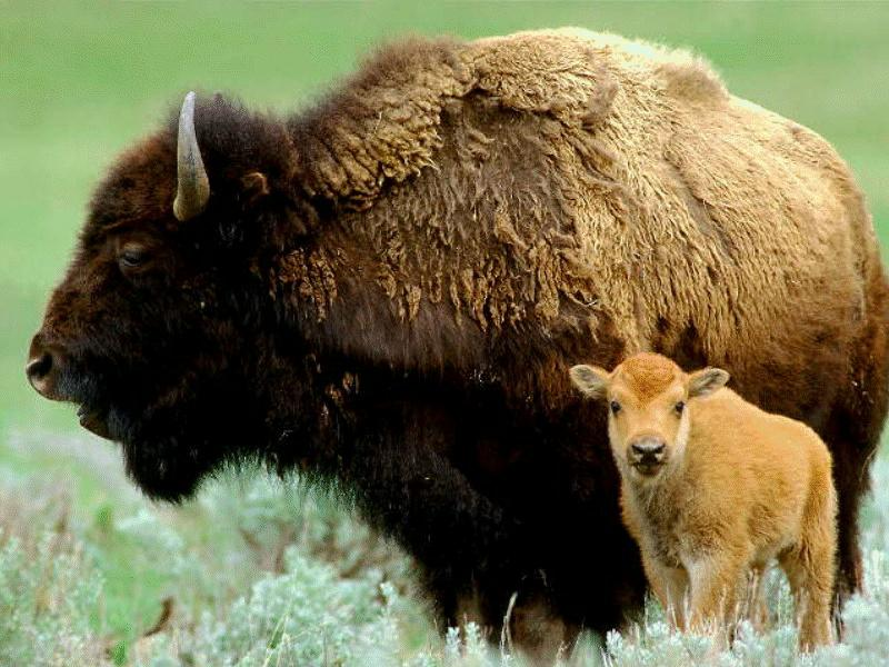 American Bison cow and calf (Bison bison) <!--아메리카들소-->; Image ONLY