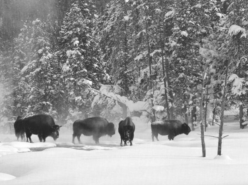American Bison herd (Bison bison) <!--아메리카들소--> in snow forest; DISPLAY FULL IMAGE.