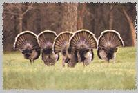 Wild Turkey flock (Meleagris gallopavo) {!--야생 칠면조-->; Image ONLY
