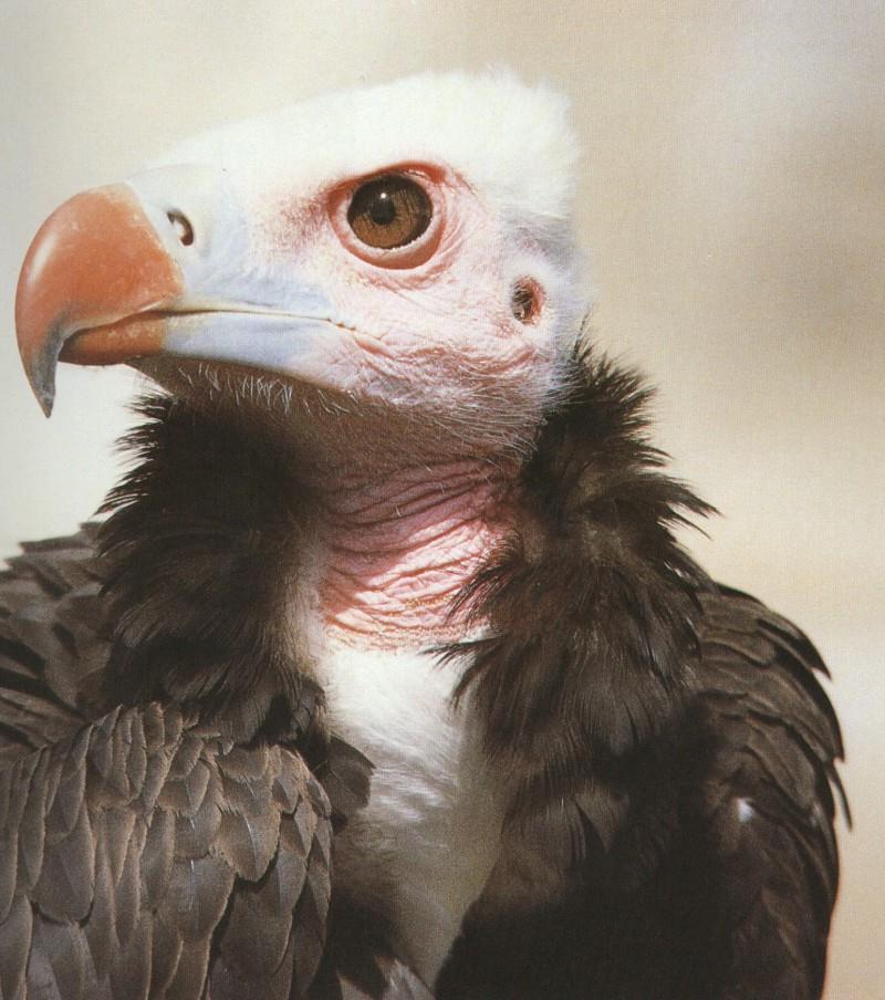 White-headed Vulture's Face; DISPLAY FULL IMAGE.