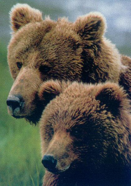 Brown Bears (Ursus arctos) <!--알래스카 불곰-->; Image ONLY