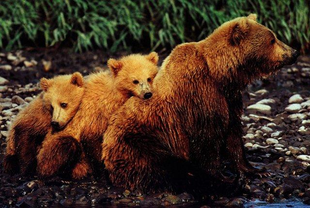 Grizzly bears-Family-Mom and 2 babies.jpg
