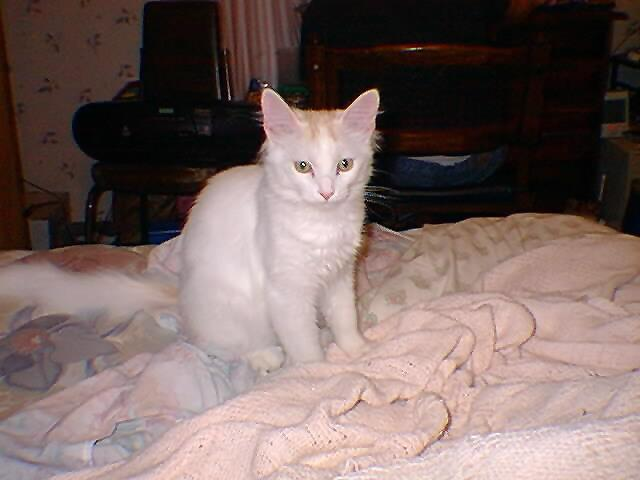 White Feral Cat (Felis silvestris catus) <!--흰고양이,백묘(白猫)-->; Image ONLY