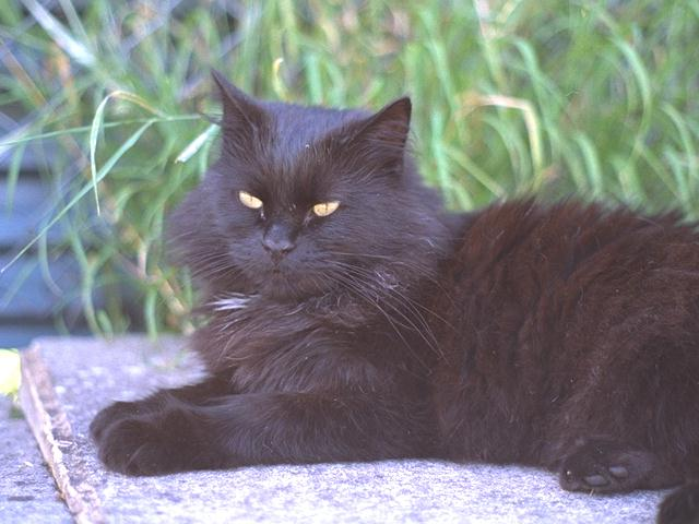Black Feral Cat (Felis silvestris catus) <!--고양이,흑묘(黑猫)-->; Image ONLY
