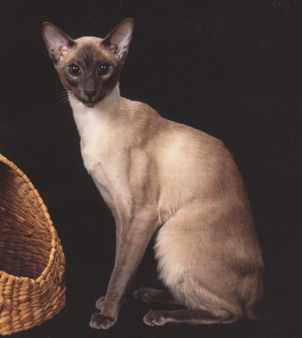 Siamese Cat Latin Name