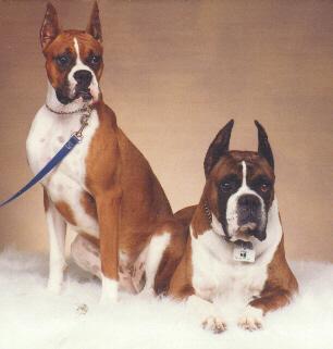 lauridog-2 Boxers-Dogs Posing.jpg