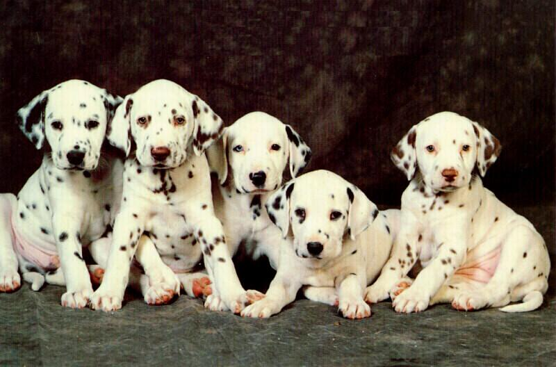 Dog - Dalmatian puppies (Canis lupus familiaris) {!--개, 달마시안 ...