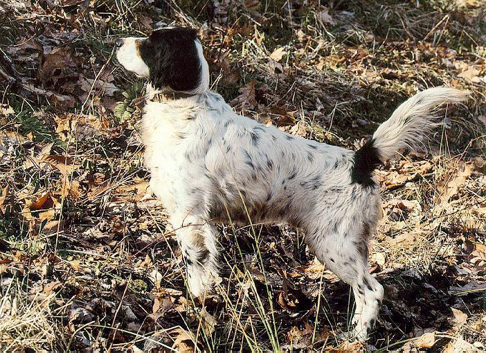 Dog - English Setter (Canis lupus familiaris) <!--개, 잉글리쉬 세터-->; Image ONLY