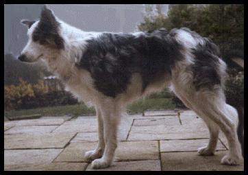 Border Collie Dog-Merle.jpg