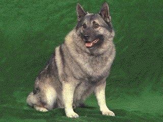 Dog-Norwegian Elkhound-1.jpg