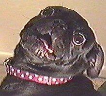 Dog-pugnet2.jpg