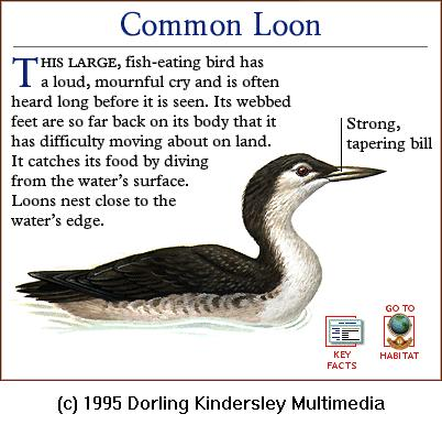 Common Loon (Gavia immer) {!--큰아비-->; Image ONLY