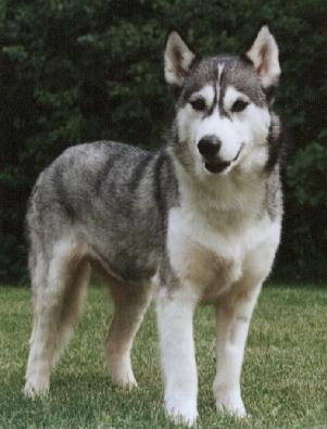 Dog-Siberian Husky-misty.jpg