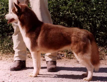Hapita-Red Siberian Husky.jpg