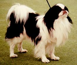 Dog - Japanese Chin (Canis lupus familiaris) <!--개, 제페니즈 친-->; Image ONLY
