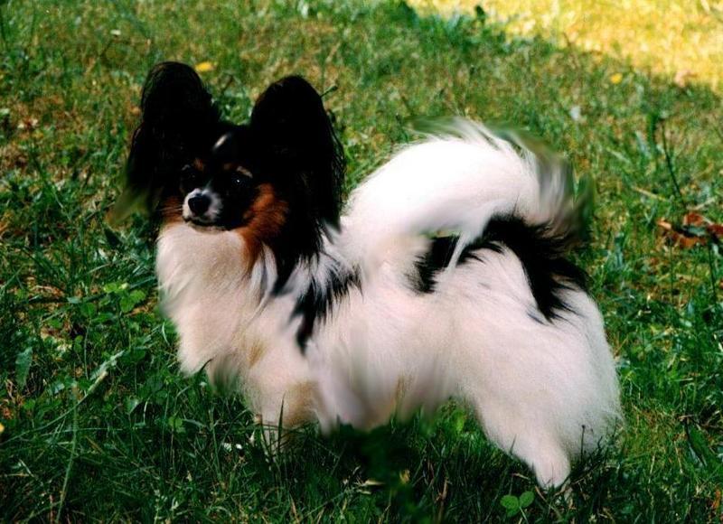 Domingo 2-Papillon Dog-standing on grass.jpg