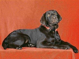 Black Labrador Retriever-Dog-Red Wall.jpg