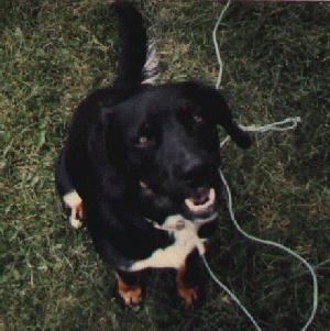 Dog-Labrador Retriever-Smiling Ajax.jpg