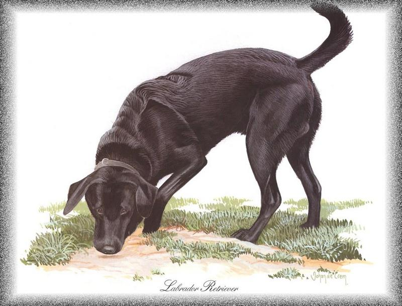 PO pdogs 46 Labrador Retriever.jpg