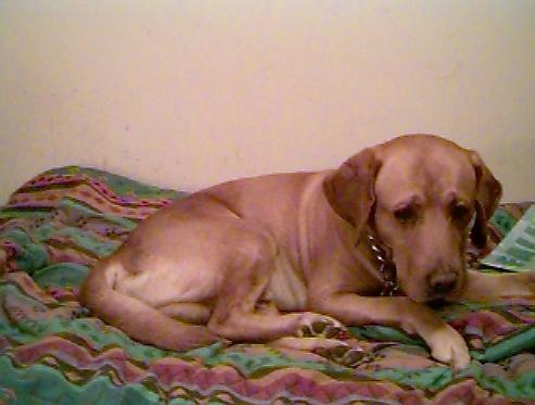 Yellow Labrador Retriever-Dog-Puppy-s005i001.jpg