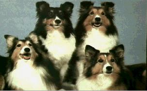 Dogs - Shetland Sheepdog (Canis lupus familiaris) {!--개, 쉐틀랜드 쉽독-->; Image ONLY