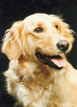 Dog - Golden Retriever (Canis lupus familiaris) <!--개, 골든 리트리버-->; Image ONLY