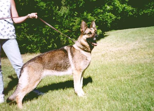 Dog - German Shepherd (Canis lupus familiaris) <!--개, 독일셰퍼드-->; Image ONLY