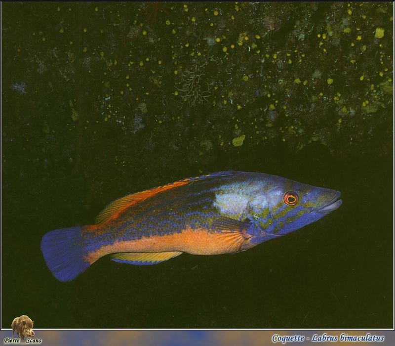 Cooko-wrasse (Labrus bimaculatus); DISPLAY FULL IMAGE.