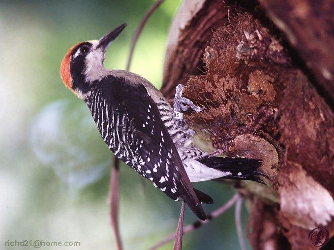 Woodpecker <!--딱다구리 종류-->; Image ONLY