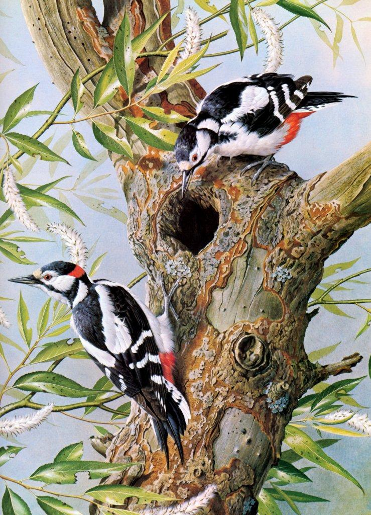 [Animal Art - Basil Ede] Great Spotted Woodpecker (Dendrocopos major) <!--오색딱다구리-->; Image ONLY
