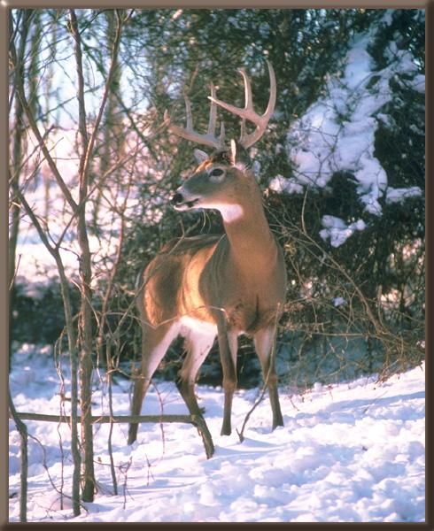 White-tailed Deer (Odocoileus virginianus) <!--흰꼬리사슴-->; Image ONLY