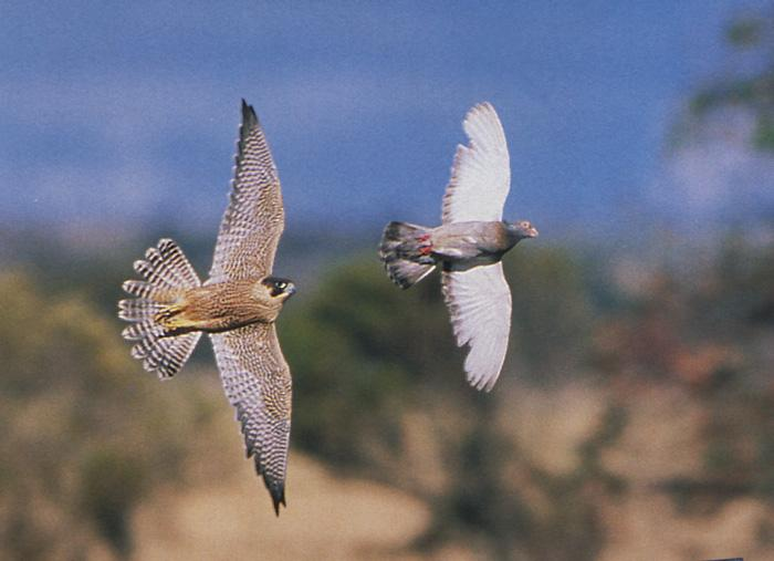 Peregrine falcon4-from Australia-hunting pigeon.jpg