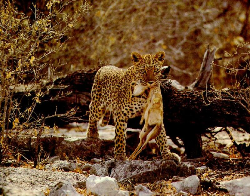 African Leopard hunted Dik-dik antelope; DISPLAY FULL IMAGE.