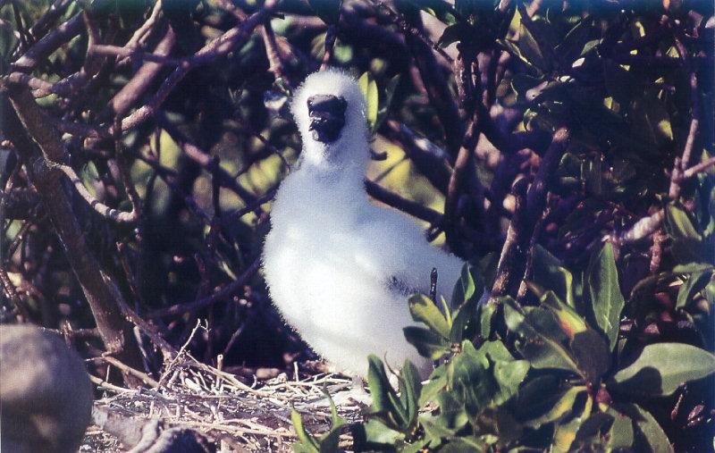 Blue-footed Booby chick (Sula nebouxii) <!--푸른발부비-->; Image ONLY